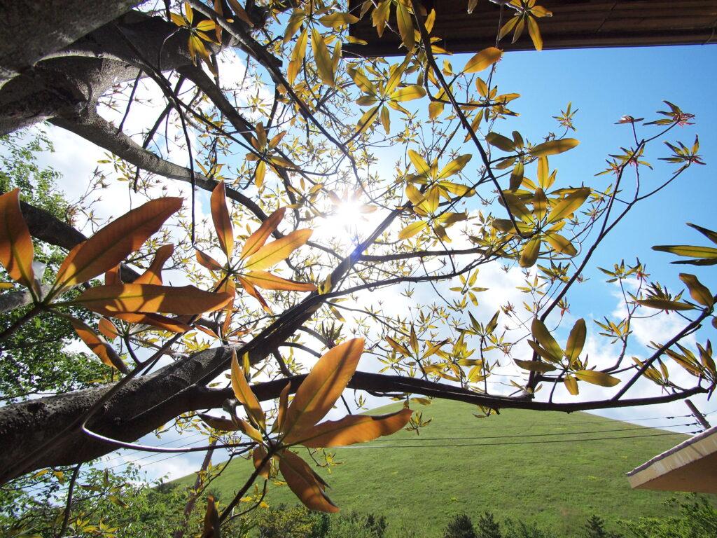 ロロシトア シンボルツリー
